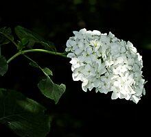 White Hydrangea Blossoms - Hydrangea arborescens - Annabelle by MotherNature