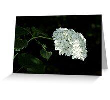 White Hydrangea Blossoms - Hydrangea arborescens - Annabelle Greeting Card