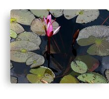 Pink water lilly buds. Canvas Print