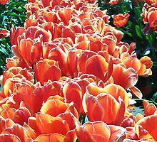 Orange Rows by wandringeye