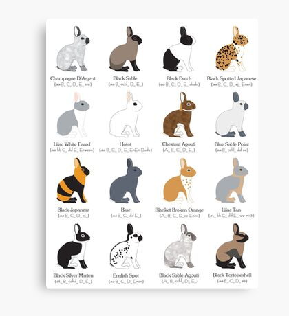 rabbits colour genetics Canvas Print