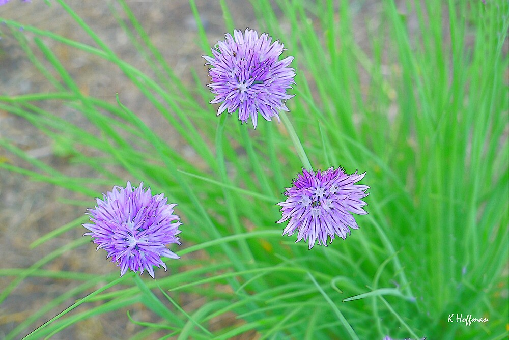Jive Chive by Kenneth Hoffman