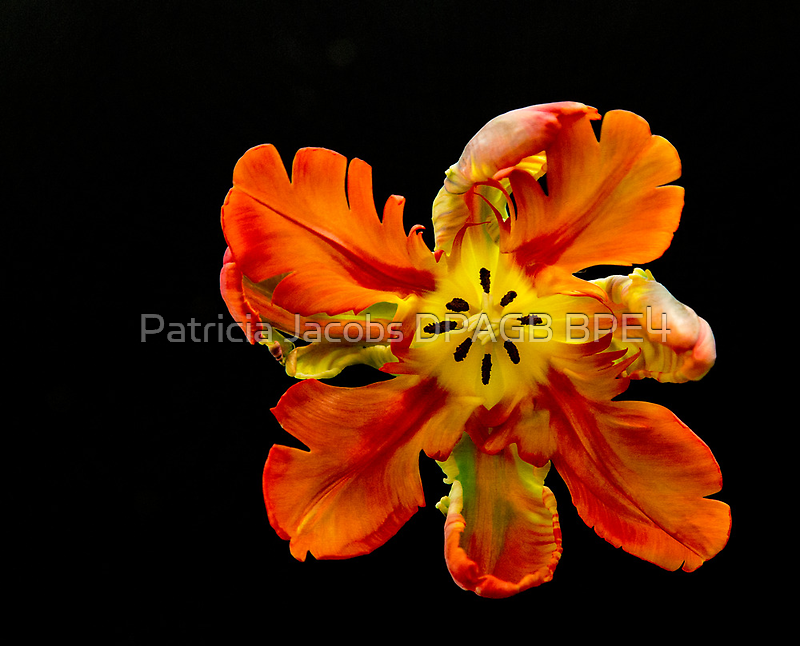 Parrot Tulip by Patricia Jacobs CPAGB LRPS BPE3