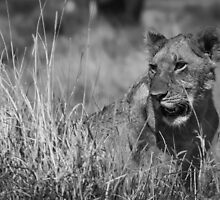 Lion in the Grass by MunschkinMedia