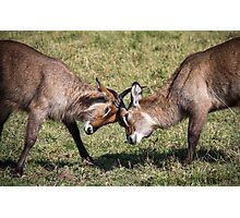 Antelope Games Photographic Print