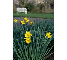 Scottish daffodils Photographic Print