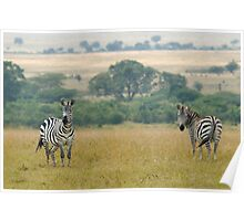 Plains zebras Poster