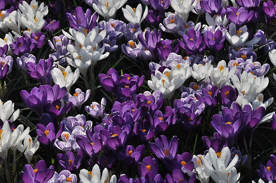 Crocuses by Morag Anderson