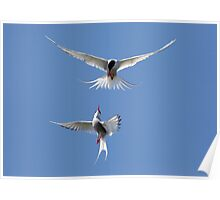 Acrobatics from Arctic Terns Poster