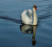 Swan Symmetry -  Graceful Cygnus Olor by Georgia Mizuleva