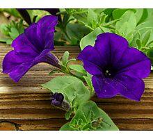 Purple Garden Petunias Photographic Print