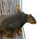 Stubby Squirrel by Keala
