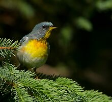 Male Northern Parula by MIRCEA COSTINA