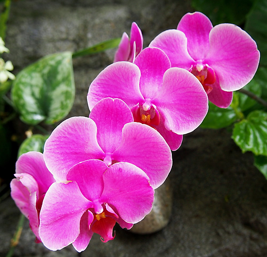 Fuchsia Pink Tropical Orchid Flowers near Waterfall by Amy McDaniel