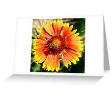 Orange and Red Gaillardia Prairie Flower with Bee Macro Greeting Card