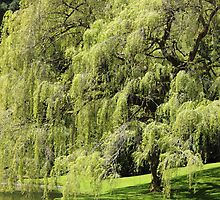 Weeping Willow by Tanya Shockman