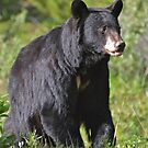 Mother Black Bear by Luann wilslef
