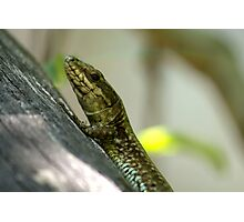 small lizard Photographic Print