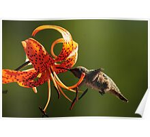 HUMMINGBIRD AND TIGER LILY Poster