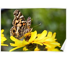 Painted Lady on a Zinnia Poster