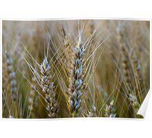Summer Wheat Poster