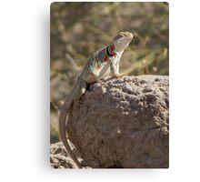 Eastern Collard Lizard (Gravid Female) Canvas Print