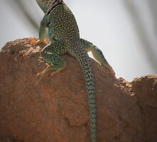 Eastern Collared Lizard (Male) by Kimberly Chadwick