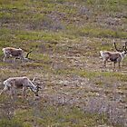 Caribou, Denali National Park, Alaska, USA by Margaret  Hyde