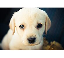 Labrador Retriever Puppy Photographic Print