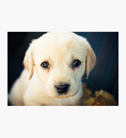 Labrador Retriever Puppy Photographic Print