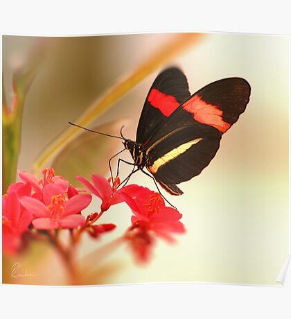 Butterfly - Postman - Heliconius melpomene Poster