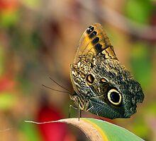 Butterfly - Caligo memnon by Richard Eijkenbroek