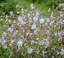 Night-flowering Catchfly by PhotosByHealy