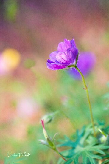 Proud Purple Cranesbill by Anita Pollak