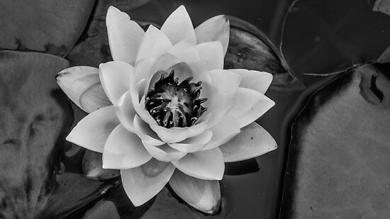 Lotus Flower - Washington Park Arboretum - Seattle, WA - U.S.A. by Vincent Frank