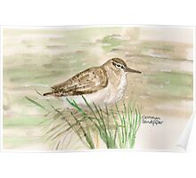 Common Sandpiper Poster