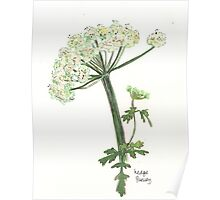 Hedge Parsley Poster