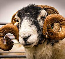 Prize Ram by hebrideslight