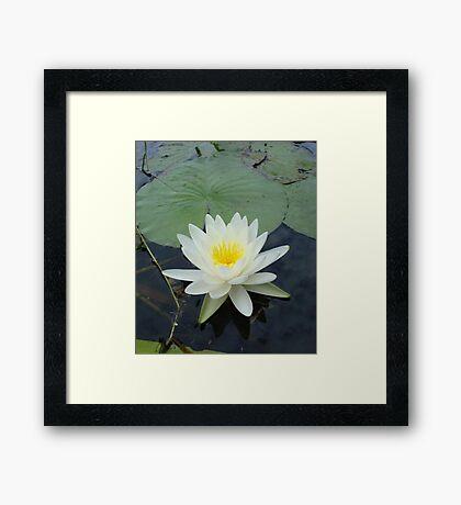 WATERLILY - NYMPHAEA ODORATA  Framed Print