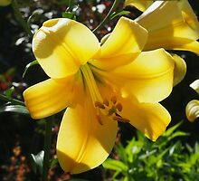 Sunlight filtering through Yellow Day Lilly Flower by Amy McDaniel