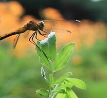 Dragon Fly by jroch
