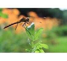 Dragon Fly Photographic Print