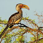 A Common Yellow Hornbill  by jozi1