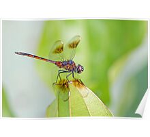 Four Spotted Pennant Dragonfly Poster