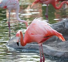 Flamingo at the San Diego Zoo by Chris Sauerwald
