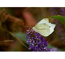 White Butterfly on Hebe Flower Photographic Print