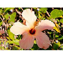 Hibiscus in pixie light Photographic Print