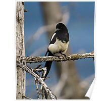 Black-Billed Magpie Poster