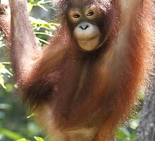 Orangutan by Leoni South