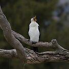 australian pied cormorant yawn you woke me  by Kym Bradley